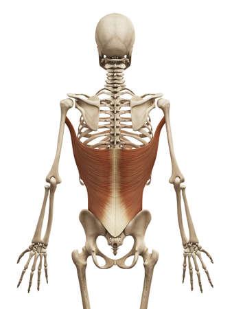 latissimus: Anatomia muscolo - il gran dorsale Archivio Fotografico