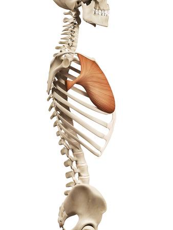 muscle anatomy - the pectoralis major Stock Photo
