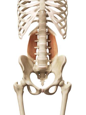 skeleton anatomy: muscle anatomy - the quadratus lumborum Stock Photo