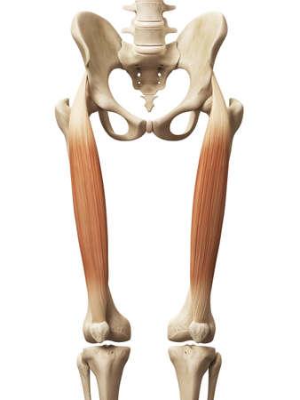 anatomy muscles: muscle anatomy - the rectus femoris