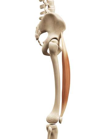 rectus: muscle anatomy - the rectus femoris