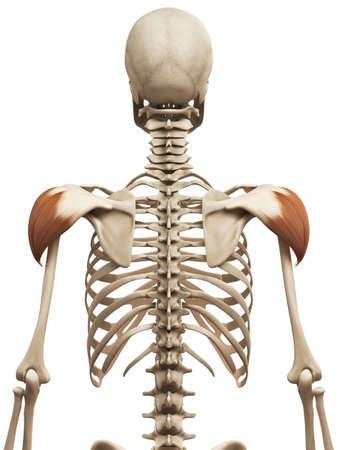 deltoid: muscle anatomy - the deltoid Stock Photo