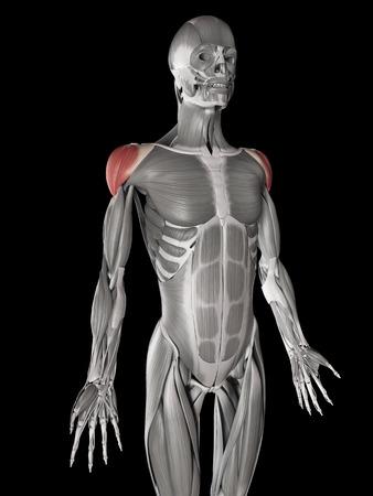 deltoid: human muscle anatomy - deltoid