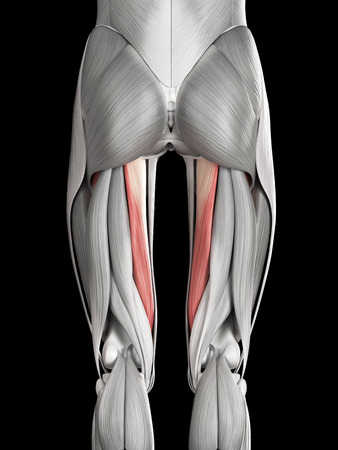 abductor: human muscle anatomy - abductor magnus Stock Photo