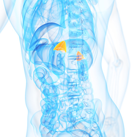 suprarrenales: ilustración médica 3d de las glándulas suprarrenales