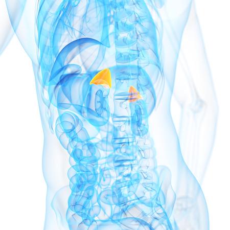 glands: medical 3d illustration of the adrenal glands