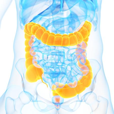cuerpo hombre: 3d ilustraci�n m�dica del colon