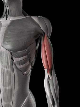 huesos humanos: anatomía muscular humana - bíceps braquial