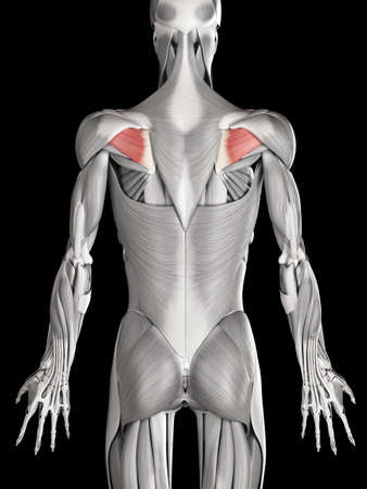 infraspinatus: human muscle anatomy - infraspinatus Stock Photo