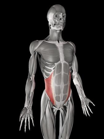 oblique: human muscle anatomy - internal oblique