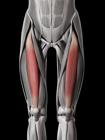 rectus: human muscle anatomy - rectus femoris
