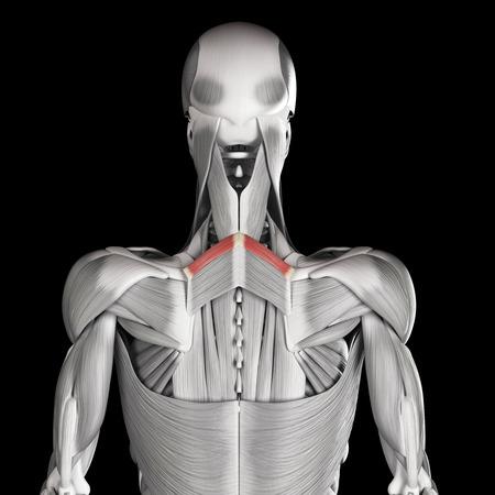 minor: human muscle anatomy - rhomboid minor
