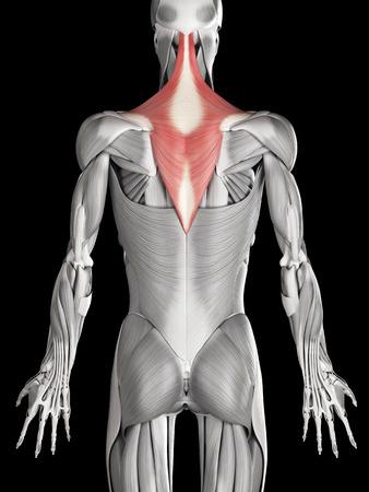 trapezius: anatom�a muscular humana - trapecio Foto de archivo