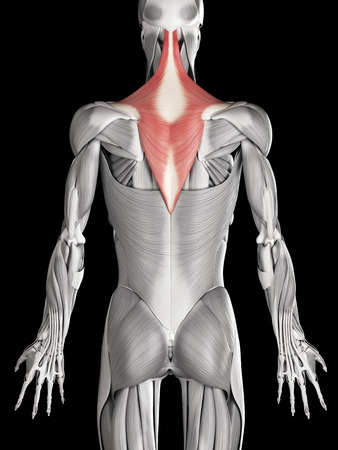 human muscle anatomy - trapezius stock photo, picture and royalty, Muscles