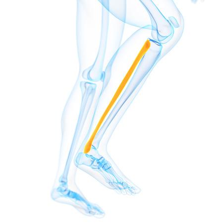 fibula: medical 3d illustration of the fibula
