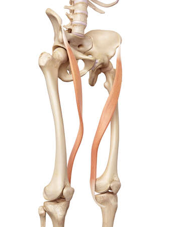 thighs: medical accurate illustration of the sartorius Stock Photo