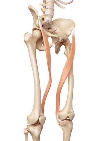 accurate: medical accurate illustration of the sartorius Stock Photo