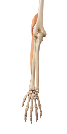biomedical: medical accurate illustration of the brachioradialis Stock Photo