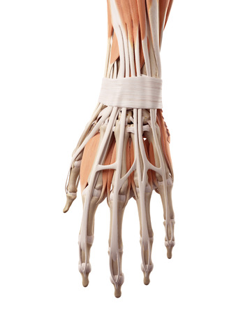 musculature: medical accurate illustration of the hand muscles