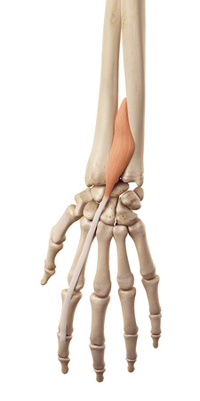 extensor: medical accurate illustration of the extensor indicis