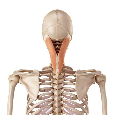 accurate: medical accurate illustration of the splenius capitis