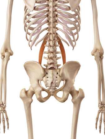 accurate: medical accurate illustration of the psoas minor