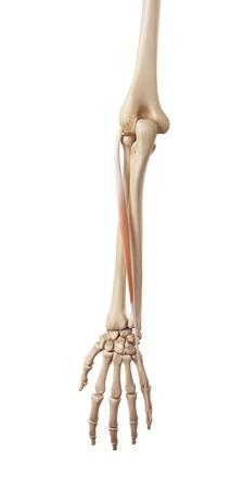 musculature: medical accurate illustration of the estensor digiti minimi