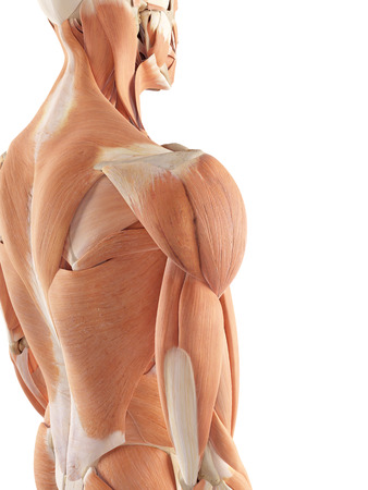 shoulder anatomy: medical accurate illustration of the shoulder muscles