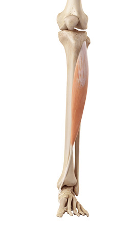 anterior: medical accurate illustration of the tibialis anterior Stock Photo