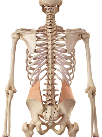 torso: medical accurate illustration of the internal oblique Stock Photo