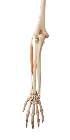 extensor: medical accurate illustration of the extensor carpi radialis brevis Stock Photo