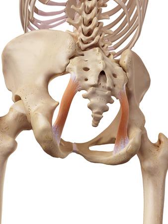 ilium: medical accurate illustration of the sacrotuberous ligament