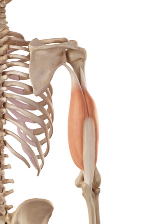 musculature: medical accurate illustration of the triceps Stock Photo