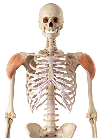 accurate: medical accurate illustration of the deltoid