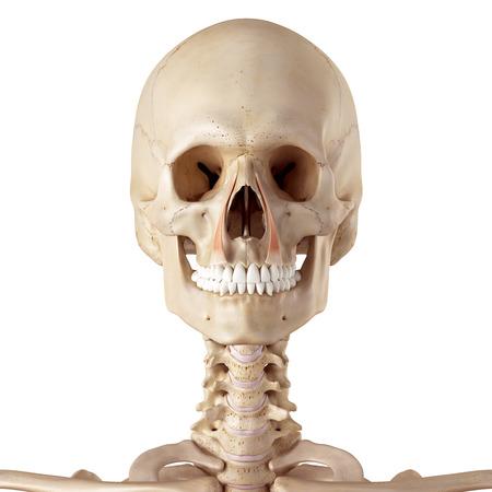 facial muscles: medical accurate illustration of the levator labii superioris alaeque nasi