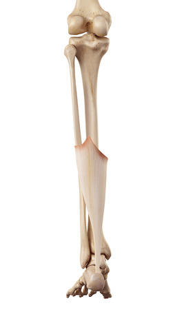 lower limb: medical accurate illustration of the achilles tendon
