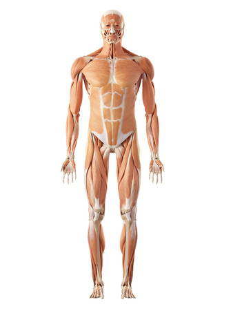 musculature: medical accurate illustration of the muscle system Stock Photo
