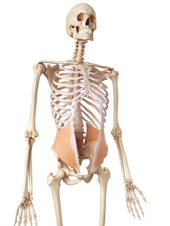 medical accurate illustration of the internal oblique Stock Photo