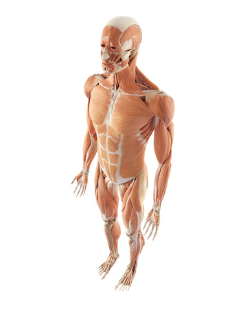 accurate: medical accurate illustration of the muscle system Stock Photo
