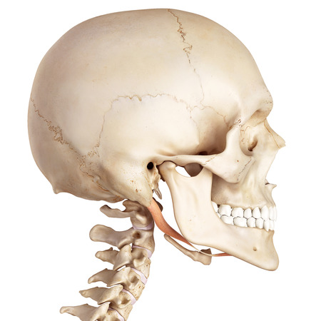 skull and bones: medical accurate illustration of the digastric Stock Photo