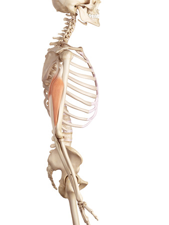 upper: medical accurate illustration of the triceps Stock Photo