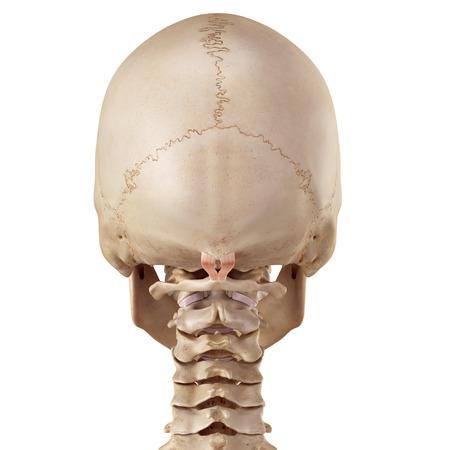 posterior: medical accurate illustration of the rectus capitis posterior minor