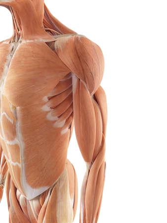 pr�cis: illustration m�dicale pr�cise des muscles de l'�paule