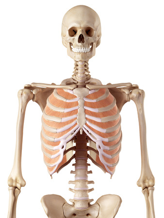 accurate: medical accurate illustration of the inner innercostals Stock Photo