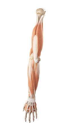 biomedical: medical accurate illustration of the arm muscles Stock Photo