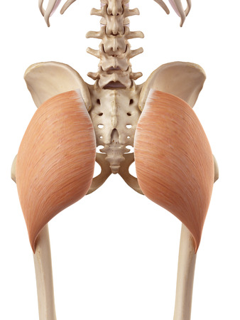 accurate: medical accurate illustration of the gluteus maximus Stock Photo