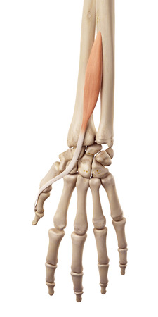 extensor: medical accurate illustration of the extensor pollicis longus Stock Photo