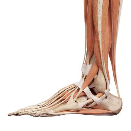 esqueleto: ilustración médica precisa de los músculos del pie Foto de archivo