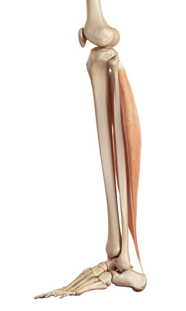 a leg: medical accurate illustration of the soleus