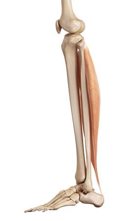 soleus: medical accurate illustration of the soleus